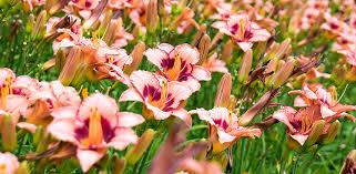 Day Lillies Faqs Gardenland