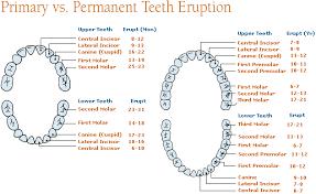 Dog Tooth Anatomy Differences Between Primary Teeth Milk Teeth And Permanent Teeth