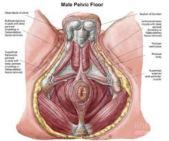 Human Anatomy Male The Vital Information Our Bowels N2 Physical Therapy