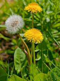 Types Of Garden Flowers - types of weeds in the lawn hgtv