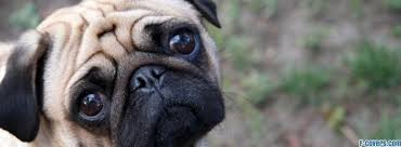 Depressed Pug Meme - sad facebook covers