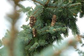 wallpaper branch spruce christmas tree fir conifer cones