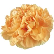 wholesale carnations san diego wholesale flowers florist bouquets carnations