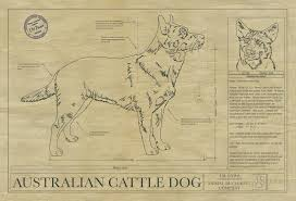 australian cattle dog drawing animal blueprint company click