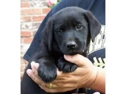 puppies indiana labrador retriever puppies in indiana