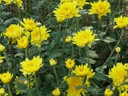 mums u2013 flowers u2013 the crowning glory of fall u0027s display organic