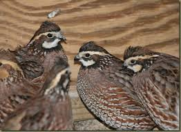 Backyard Quail Pens And Quail Housing by Quail Farming Guide For Raising Coturnix And Bob White Quail The