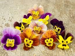 winter flowering hiemalis pansy baker creek heirloom seeds