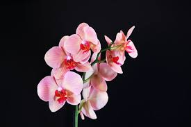 pink orchids pink orchid images pixabay free pictures