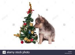 chihuahua puppy sitting next a small christmas tree stock photo