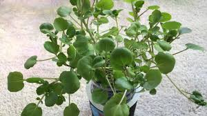 growing watercress indoors non circulating hydroponic kratky