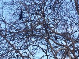 what explains two dead crows hanging from east tree