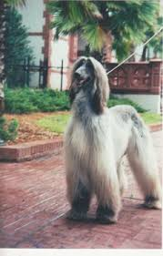afghan hound jackets lilli31309006 everything i love afghan hounds aussies