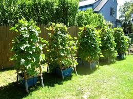 pole beans in containers gardening ideas pinterest