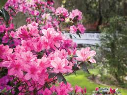 azalea pruning tips southern living