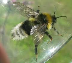 the cuckoo gypsy bumble bee a species endangered esc sec blog