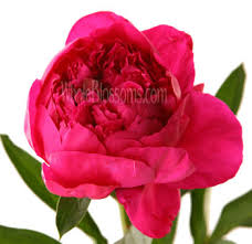 bulk peonies buy bulk peony wedding flowers on wholesale pricing