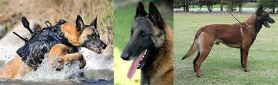 belgian shepherd size stephen guard dog general info of dogs trained in malaysia and