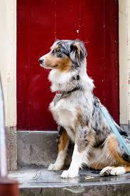 australian shepherd 2 nasen so weit die pfoten tragen amsterdam hundetage u0026 hundstage