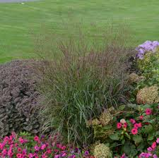 caring for ornamental grasses version proven winners