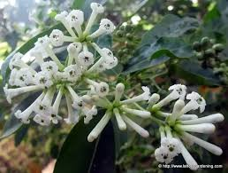 Very Fragrant Plants - what are some of the most fragrant flowers in the world