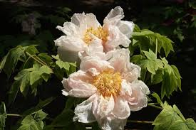 Peony Flowers by Beautiful Peony Flowers Grown Inside The Park Picture Of