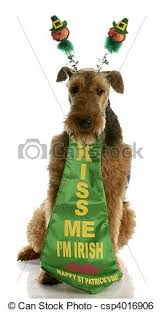 st patricks day dog airedale terrier dressed up for st stock