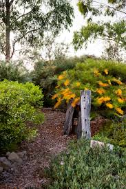 native australian plants grevilleas