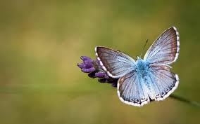 butterfly backgrounds free download wallpaper wiki