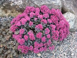 sedum hylotelephium cauticola u0027lidakense u0027 forum topic north