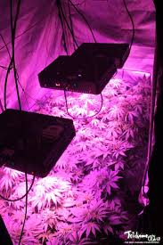 growing autoflower with led lights auto kush seedsman led grow journal week 4