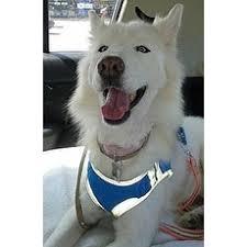 american eskimo dog adoption american eskimo dog for adoption