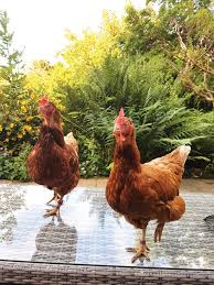 backyard hens why we should rescue them and can we eat their
