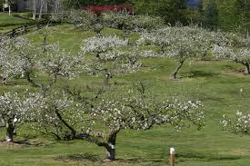 espalier curran apple orchard