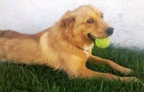 australian shepherd and golden retriever local pet adoption page 8 31 12