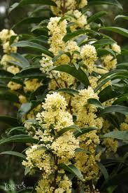 Fragrant Olive Plant Best Smelling Houseplants Diy Network Blog Made Remade Diy