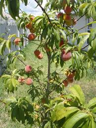 fruit peach tree in the narrow backyard growing peach trees in