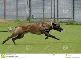 belgian shepherd x greyhound malinois belgian shepherd working test stock photo image 31809660