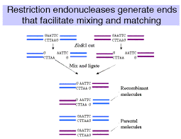 v recombinant dna technology isolating and analyzing genes