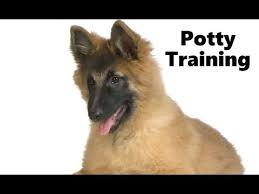 belgian sheepdog animal planet how to potty train a belgian tervuren puppy belgian tervuren