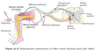 Describe A Reflex Action Ncert Class Xi Biology Chapter 21 U2013 Neural Control And