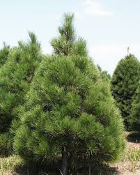 Pacific Northwest Christmas Tree Association - there can be a big difference between different types of christmas