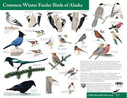 Bird feeding in alaska