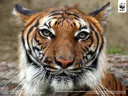 tiger the meaning of the in which you see tiger