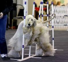 afghan hound agility manny3 jpg
