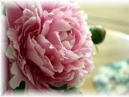 garden pink roses meaning cool flower photography for