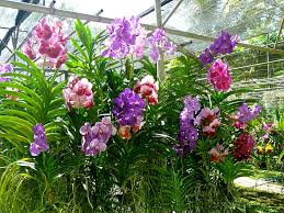 buy an orchid how to buy fresh orchids from thailand orchid growers the story