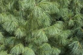 free photo needle tree nature pine plants iglak conifer max pixel