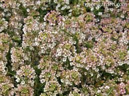 alyssum flowers summer honey scented alyssum renee s garden seeds