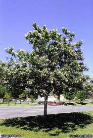 55 best trees ornamental images on plants